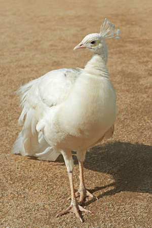 peafowl: White Indian Peafowl standing on the ground
