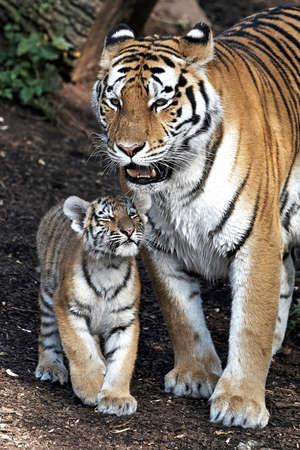彼女の小さな赤ちゃんと日没のアムールトラ