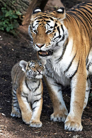 Amur Tiger in the sunset with her little cub Standard-Bild