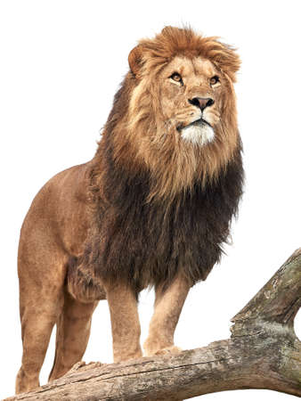 Lion standing on a old tree trunk isolated on white