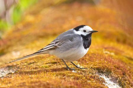 wagtail: White Wagtail resting on the ground Stock Photo