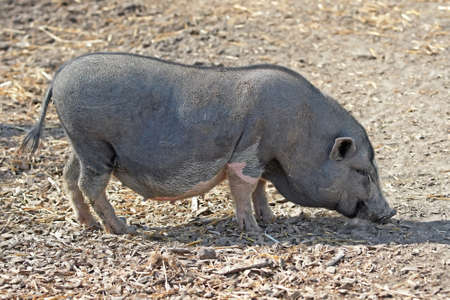 Pot bellied pig looking for food in the dirt photo