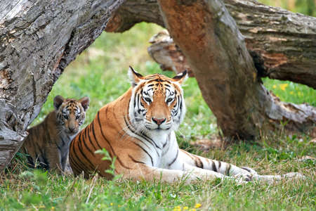 Bengal tiger resting with its cub in its habitat 스톡 콘텐츠