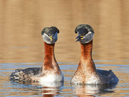 necked: Red Necked Grebe in its natural habitat