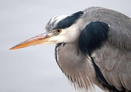 Closeup of the Grey Heron