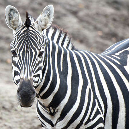 grants: Closeup of the Grants Zebra resting in its habitat Stock Photo