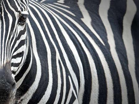 grants: Closeup portrait of the Grants Zebra