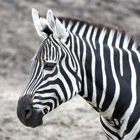 grants: Closeup portrait of the Grants Zebra in its habitat