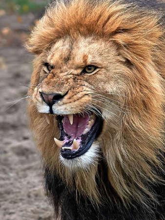 口を開けて歯を見せと怒っているライオンのクローズ アップ