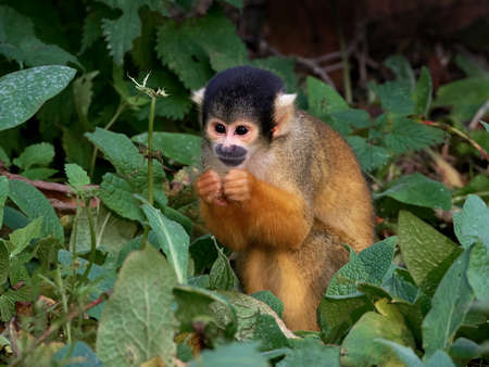 capped: black capped squirrel monkey in its habitat
