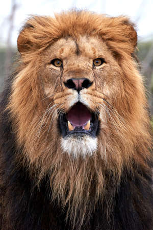 Closeup of a lion with open mouth and showing teeth Standard-Bild