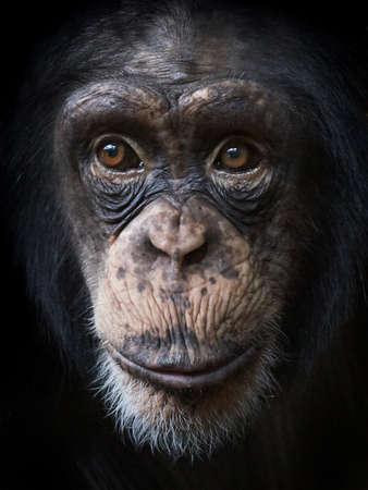 美しい茶色の目と共通のチンパンジーのポートレート、クローズ アップ 写真素材
