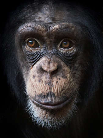Closeup portrait of common chimpanzee with beautiful brown eyes