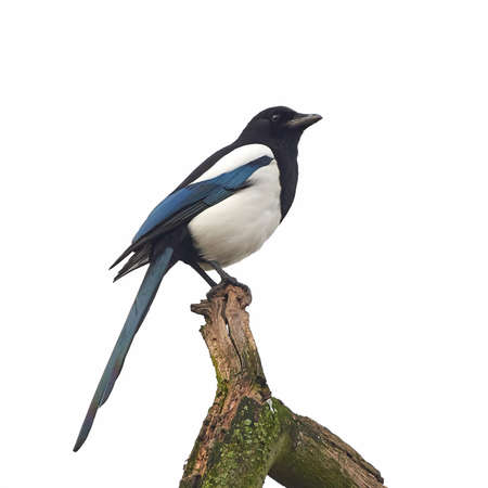 Eurasian Magpie resting on a branch in its habitat