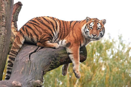 yellow tigers: Amur Tiger relaxing on a big branch in its habitat