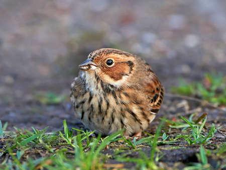 habitat: Little Bunting resting on the ground in its habitat Stock Photo