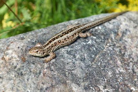 lagartija: Lagarto arena que descansa sobre una roca en el sol