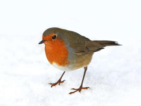 European robin resting in the snow in its habitat