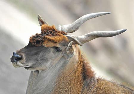 habitat: Closeup portrait of a common eland resting in its habitat