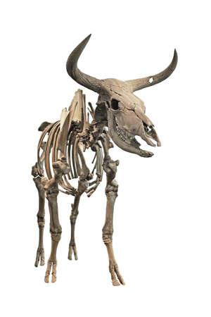 extinct: The skeleton of an extinct Aurochs on a white background Stock Photo