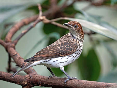 habitat: Violet backed starling resting on a branch in its habitat