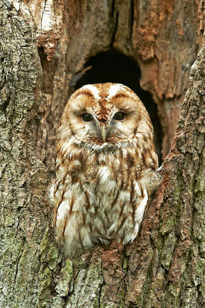 tawny owl: Tawny Owl day resting in a hollow tree trunk