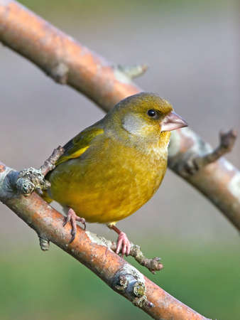 greenfinch: European Greenfinch resting on a branch in its habitat