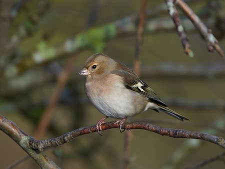 chaffinch: Femmina Fringuello riposa su un ramo nel suo habitat