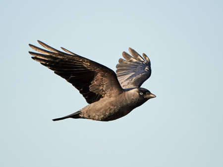 jackdaw: Western Jackdaw in flight with blue skies in the background