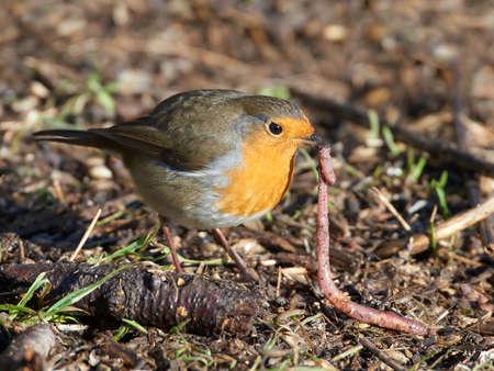 Europese Robin zittend op de grond met een regenworm in zijn bek