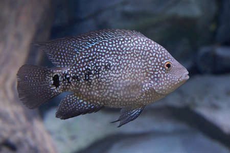 cichlid: Texas cichlid swimming in uts natural habitat