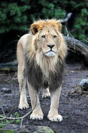 habitat: Male Lion watching over his flock in its habitat Stock Photo