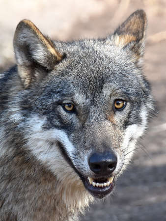 Closeup portrait of the Grey Wolf with camera eye contact Reklamní fotografie