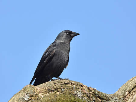 jackdaw: Western Jackdaw resting on a big branch with blue skies in the background