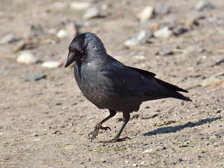 jackdaw: Western Jackdaw looking for food on the ground in its habitat