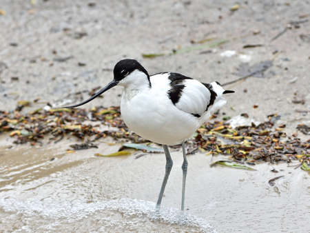 avocet: Pied Avocet looking for food in its habitat