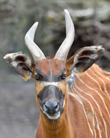 habitat: Closeup portrait of the Bongo in its habitat