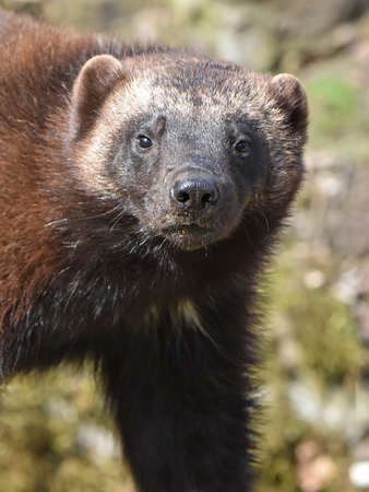 wolverine: Closeup portrait of the wolverine seen from the front