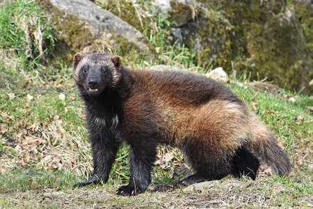 Wolverine standing in its natural habitat