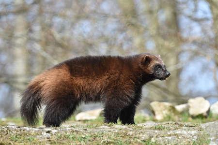 wolverine: wolverine standing in its natural habitat