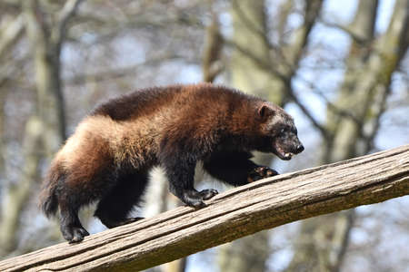 wolverine: wolverine climbing an old tree trunk in its natural habitat Stock Photo