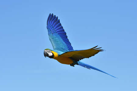 Blue and yellow Macaw in flight with blue skies in the background Standard-Bild