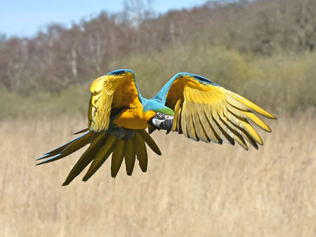Blue and yellow Macaw in flight over its habitat photo
