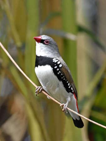 habitat: Diamond firetail resting on a branch in its habitat