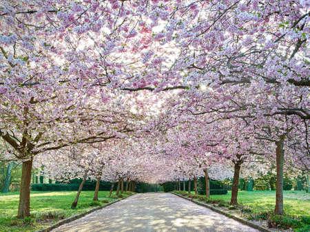 Beautiful japanese cherry tree avenue located at bispebjerg cemetery in Copenhagen, Denmark