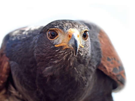 Closeup portrait of the Harris hawk seen from the front