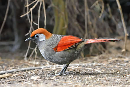 laughingthrush: Red-tailed laughingthrush looking for food in its habitat Stock Photo
