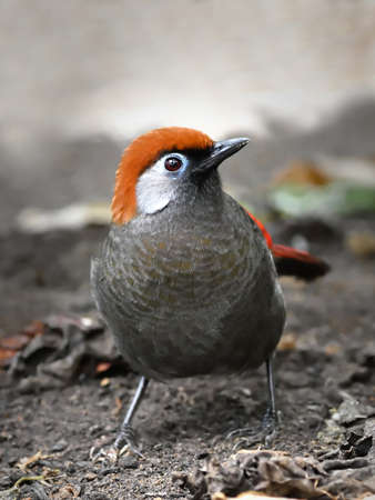 laughingthrush: Closeup portrait of the Red tailed laughingthrush seen from the front Stock Photo