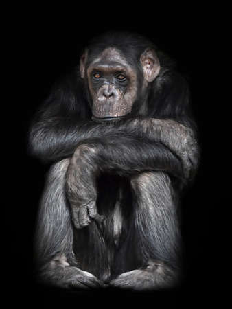 looking directly at camera: Common Chimpanzee sitting down resting and is looking directly in the camera