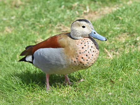 habitat: Ringed teal resting on the ground in its habitat